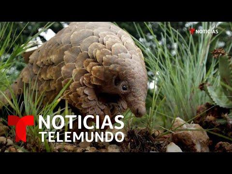 Sospechan que el pangolín facilitó la transmisión del coronavirus a humanos | Noticias Telemundo