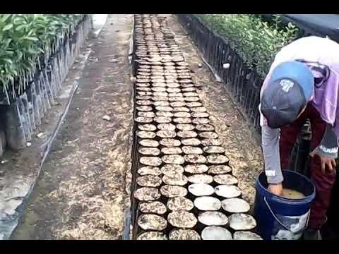Tierra de diatomeas en semilleros de aguacate youtube - Tierra para semilleros ...