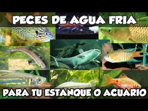 peces de agua fr a que puedes tener en tu estanque o