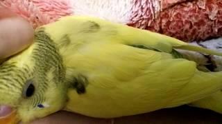 Птенец волнистого попугая. Птенцы волнистых попугаев