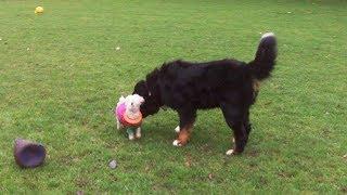 Bernese Mountain Dog Bubbly Buddy & Bichon Pepperpot Peppa.