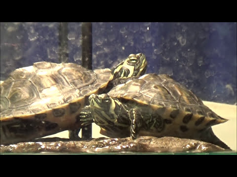 How To Take Good Care Of Yellow Belly Slider Turtles