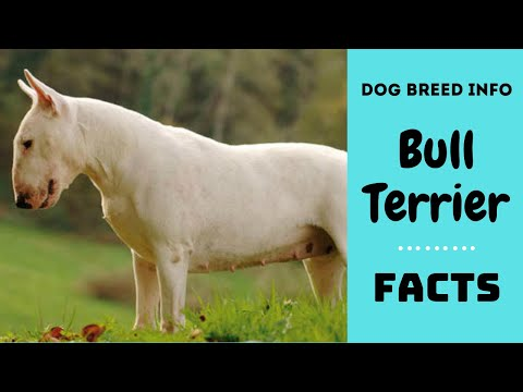 Bull Terrier dog breed. All breed characteristics and facts bout Bull Terrier dogs