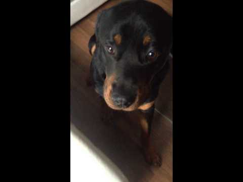 guilty rottweiler face the cutest thing ever