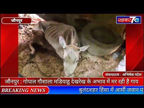 जौनपुर : गोपाल गौशाला मडियाहू देखरेख के अभाव में मर रही है गाय