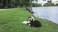 "5 month old English Sheepdog ""Linus"" Amazing Obedience! Best Dog Trainers Orlando"