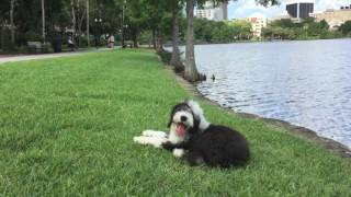 5 month old English Sheepdog 'Linus' Amazing Obedience! Best Dog Trainers Orlando