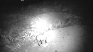 Badgers and foxes