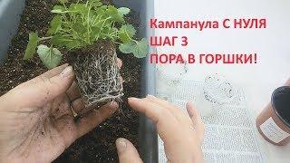Кампанула с нуля шаг 3 ПОРА В ГОРШКИ!