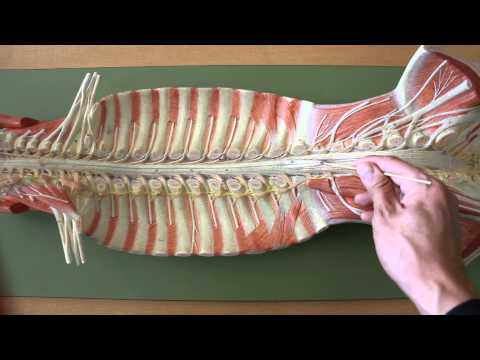 NERVOUS SYSTEM ANATOMY: Gross Anatomy Of Spinal Cord