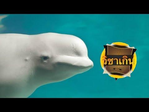 สารคดี วิชาเกินสัตว์โลก [season2] ep.41 เจ้าวาฬขาวอวบเบลลูก้า