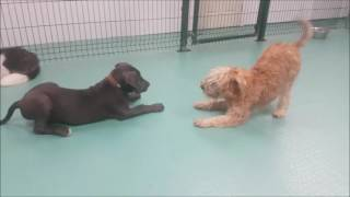 Dogs playing in daycare
