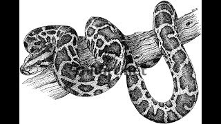 How to draw African Rock Python drawing step by step