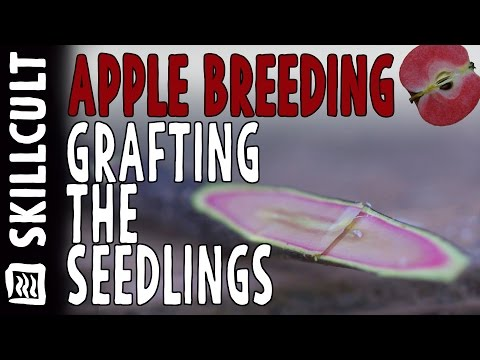 Grafting 114  Apple Seedlings Onto Dwarf Rootstocks, Apple Breeding Project