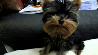 Cute Puppy -yorkshire Terrier
