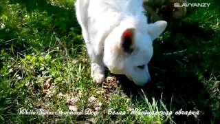 Белая Швейцарская  овчарка, White Swiss Shepherd Dog(Белая Швейцарская овчарка, 5,5 месяцев, первый выгул на природе (до этого был только питомник). Разновидность..., 2014-05-31T18:55:23.000Z)