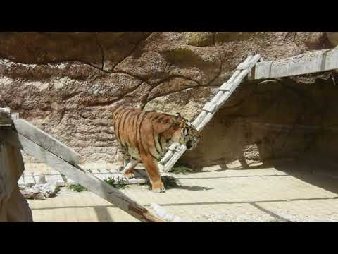 Tiger roaming in enclosure