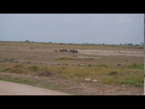 PC299014   Wrattenzwijnen Amboseli NP