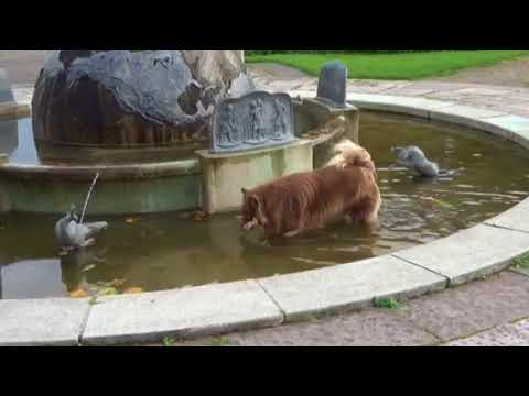 Finnish lapphund in the water fountain
