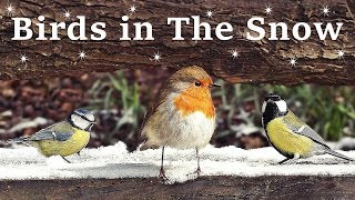 Videos for Cats and People to Watch  Birds in The Snow SPECTACULAR