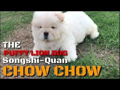 the-puffy-lion-dog-songshi-quan-(chinese-breed)-chow-chow-cute-puppies-video-compilation.-cream-coat