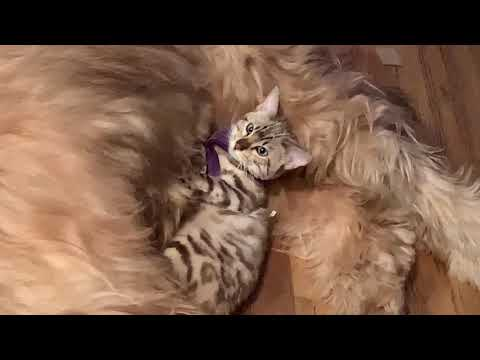 The Briard and the Bengal