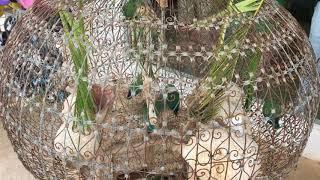 Попугаи неразлучники в Тунисе на Джербе.