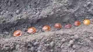 Как я сею косточки абрикоса осенью