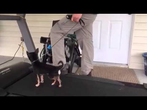 Small Dog Treadmill Training | #treadmill with #chihuahua #FL #dogtraining #seminar👏❤️😀👊👏👍🏼