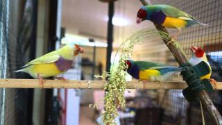 Gouldian Finch  Mutations