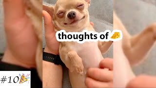 Funny Videos with ❤Chihuahua | Cute Dogs Compilation | 10 minutes of laugh