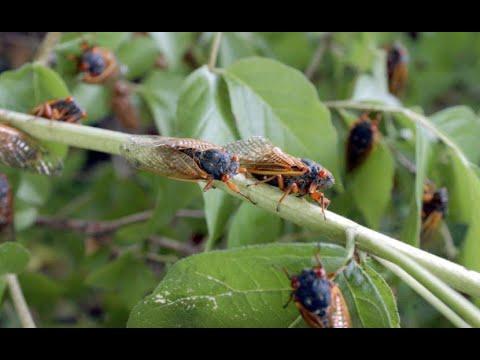 Trillions of Brood 10 Cicadas To Emerge Across 15 States