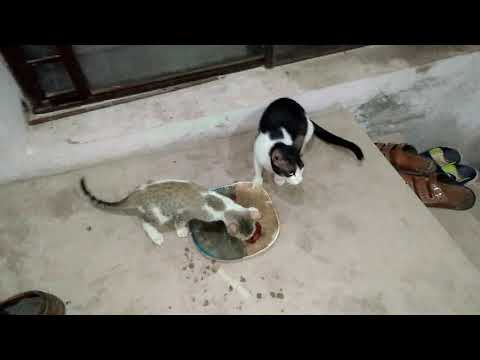 Black & White Cat with Kittens Aged 100 Days Eating Brown Cat & White Male Cat Watching(1)
