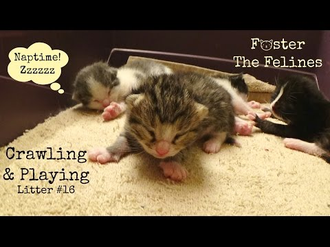 Kittens Sleeping Playing & Crawling 6 & 10 Days Old! Foster Litter #16