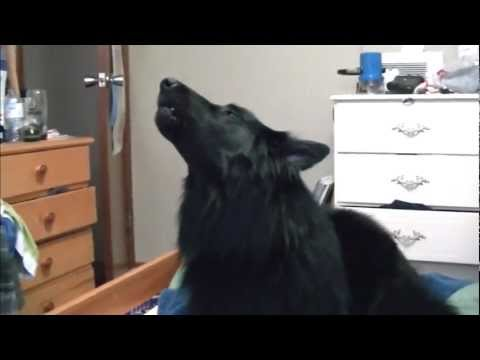 How to get your Dog to Howl - Featuring the Belgian Sheep Dog (Groenendael) Nanook