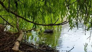 Цыплята водяной курицы на лебедином озере , Аnimals,Tiere