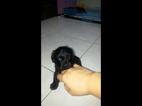 Poodle + Silky Terrier Puppy For Sale - 2 Months, PF66562 ..