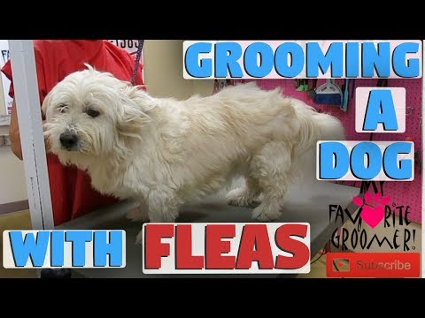Grooming A Dog With Fleas