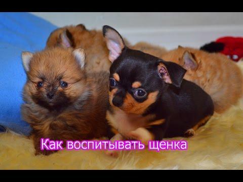 Как воспитывать щенка Как воспитать послушную собаку