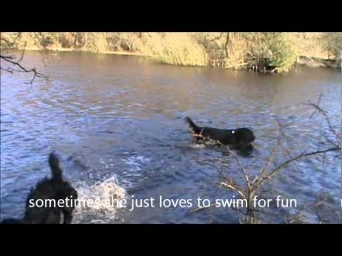 Barbet Betsy Swimming and Playing.