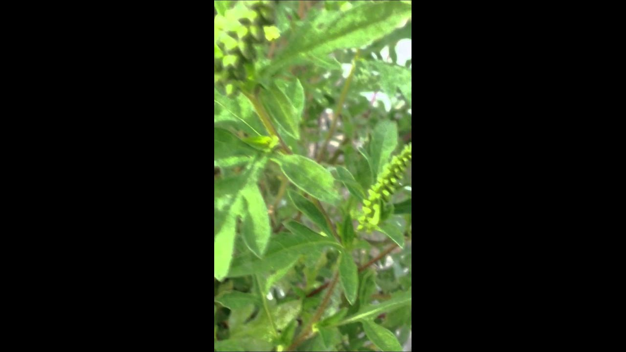ragweed identification