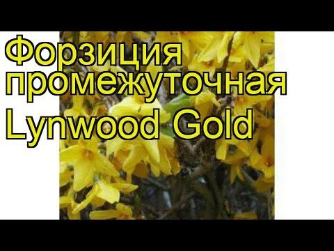 Форзиция промежуточная Линвуд Голд. Краткий обзор, описание forsythia?intermedia Lynwood Gold