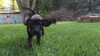 Slow Motion Big Puppy Ears