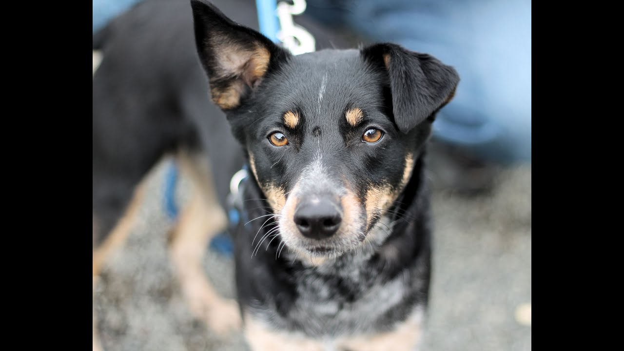 Juliet, a Sweet 2-year-old Shepherd/Blue Heeler Mix Dog ...