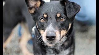Juliet, A Sweet 2-year-old Shepherd/blue Heeler Mix Dog Rescued In Manahawkin, Nj
