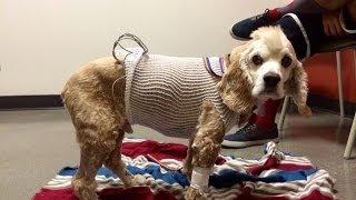 Cocker Spaniel Gets A Splenectomy Surgery - Hemangiosarcoma