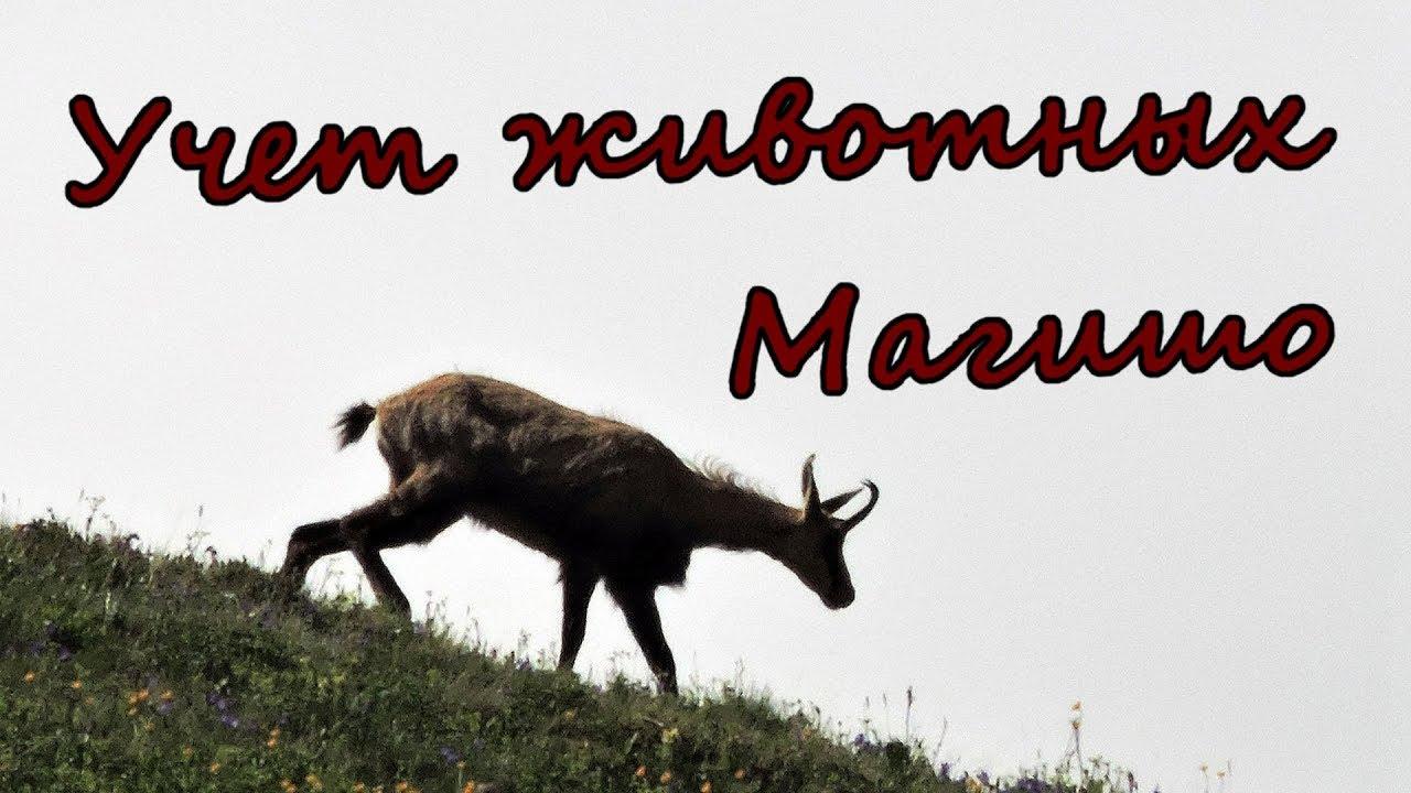 КАВКАЗСКИЙ ЗАПОВЕДНИК, район горы Магишо, поход на учет туров и серн