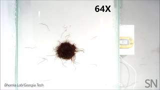 Watch a worm blob move as a mass | Science News