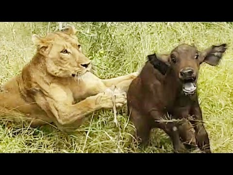 Lions Hunt Buffalo Calf Left Behind By Herd