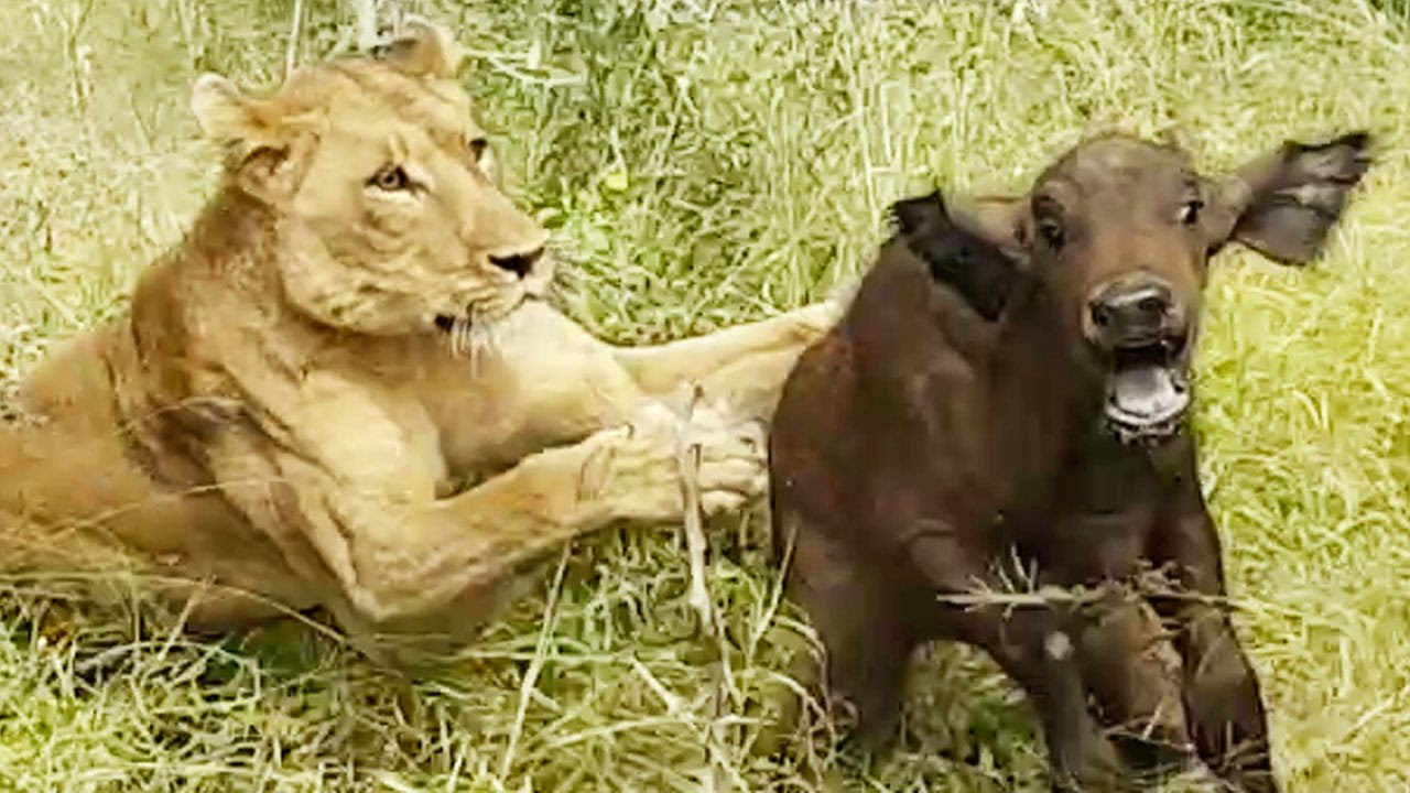 lions hunt buffalo calf left behind by herd youtube. Black Bedroom Furniture Sets. Home Design Ideas
